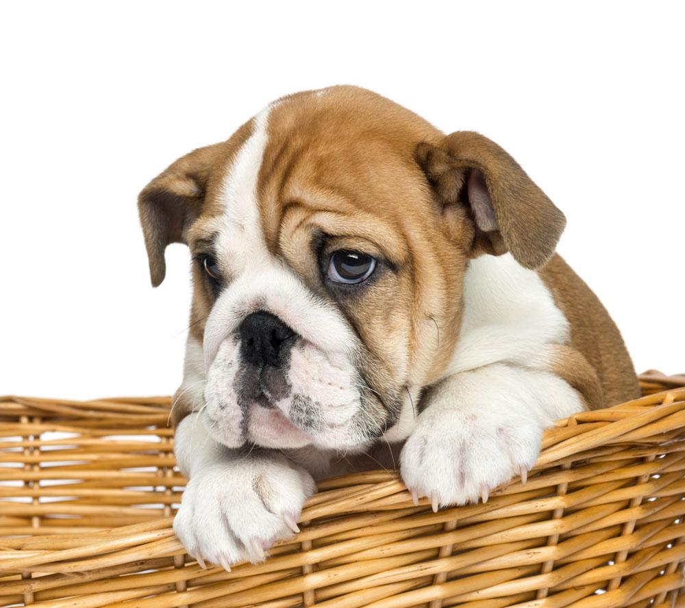 你知道沙皮狗的起源吗?